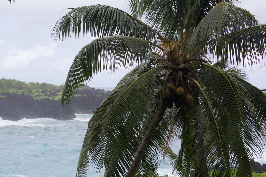 palm tree in maui